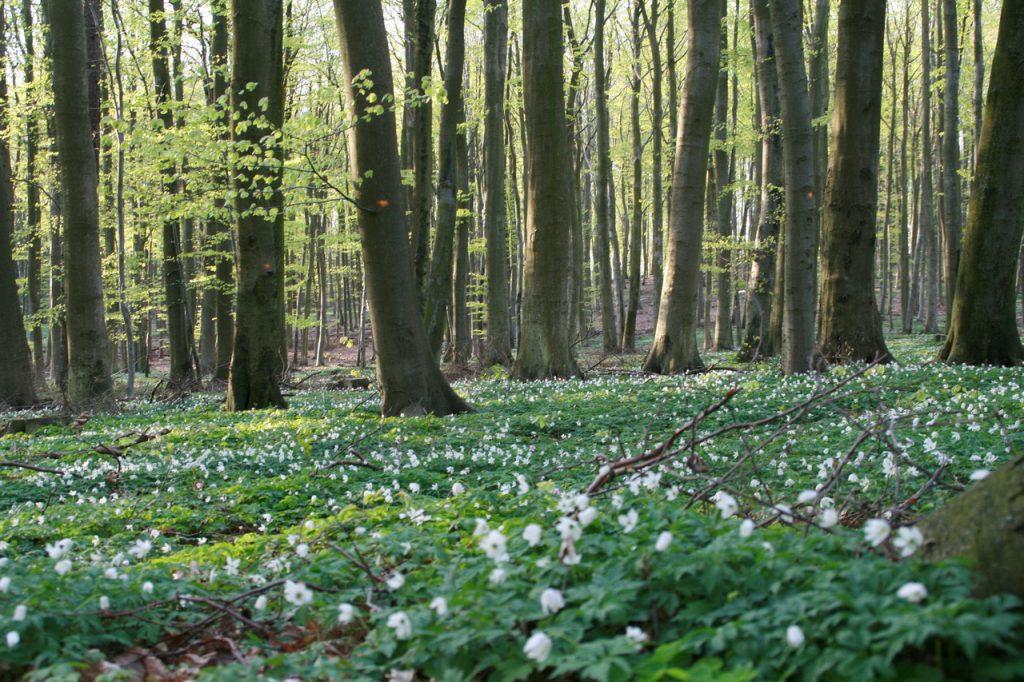 buchenwald-mit-buschwindroesschen